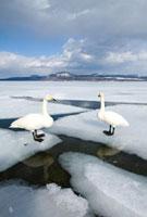 湖の氷に立つ2羽のハクチョウ