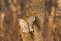巣から出ようとするフクロウ