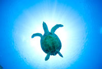 光の中のウミガメ 10241000044| 写真素材・ストックフォト・画像・イラスト素材|アマナイメージズ