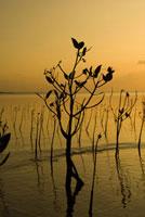 夕暮れのマングローブ