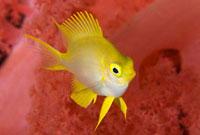 ヤマブキスズメダイの幼魚とソフトコーラル