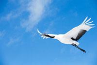 空飛ぶ1羽のタンチョウ 10241000187| 写真素材・ストックフォト・画像・イラスト素材|アマナイメージズ