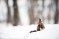 雪の中のリス 10241000195| 写真素材・ストックフォト・画像・イラスト素材|アマナイメージズ