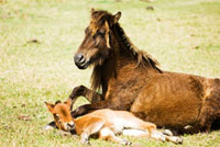 寝起きの与那国馬の子供 10241000205| 写真素材・ストックフォト・画像・イラスト素材|アマナイメージズ