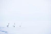 結氷した屈斜路湖と白鳥 10241000439  写真素材・ストックフォト・画像・イラスト素材 アマナイメージズ