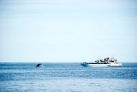 鯨とホエールウォッチングの船 羅臼沖
