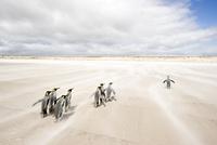 砂浜を歩くキングペンギン
