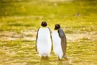 2羽のキングペンギン
