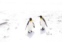 砂浜の2羽のキングペンギン
