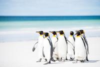 砂浜を歩くキングペンギンの群れ