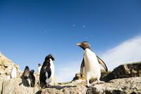 イワトビペンギンと青空