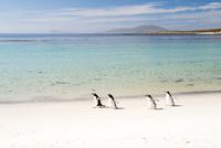 砂浜のジェンツーペンギン
