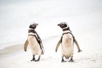 砂浜のマゼランペンギン