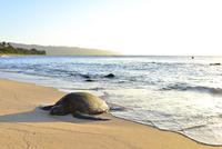 夕暮れ時に砂浜で休むカメ