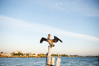 翼を広げるカリフォルニアブラウンペリカン