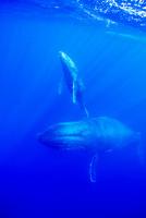 親クジラと水面に呼吸をしに向かう子クジラ 10241001893| 写真素材・ストックフォト・画像・イラスト素材|アマナイメージズ
