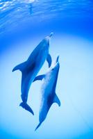 青い海、白砂の中を泳ぐ2頭のイルカ