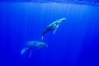 青い海を泳ぐザトウクジラの親子 10241001967| 写真素材・ストックフォト・画像・イラスト素材|アマナイメージズ