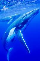 青い海を泳ぐザトウクジラの親子