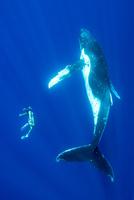 ザトウクジラと一緒に泳ぐ人