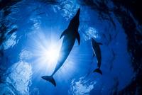 青い海とタイセイヨウマダライルカのシルエット