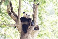 木に登る1頭のパンダ 10241002455| 写真素材・ストックフォト・画像・イラスト素材|アマナイメージズ