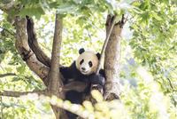 木に登る1頭のパンダ 10241002458| 写真素材・ストックフォト・画像・イラスト素材|アマナイメージズ