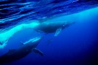 2頭のザトウクジラと2頭のイルカ