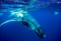 1頭のザトウクジラと人