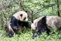 2頭のパンダ