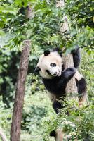 木に登る1頭のパンダ 10241002493| 写真素材・ストックフォト・画像・イラスト素材|アマナイメージズ