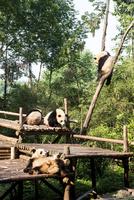 複数のパンダ