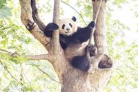 木に登る1頭のパンダ