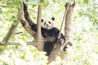 木に登る1頭のパンダ 10241002509| 写真素材・ストックフォト・画像・イラスト素材|アマナイメージズ