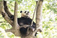 木に登る1頭のパンダ 10241002510| 写真素材・ストックフォト・画像・イラスト素材|アマナイメージズ