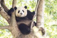 木に登る1頭のパンダ 10241002527| 写真素材・ストックフォト・画像・イラスト素材|アマナイメージズ