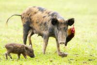 豚の親子と鶏