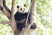 木に登る1頭のパンダ 10241002538| 写真素材・ストックフォト・画像・イラスト素材|アマナイメージズ