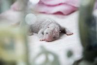 保育器の中のパンダの赤ちゃん 10241002543| 写真素材・ストックフォト・画像・イラスト素材|アマナイメージズ
