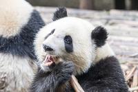 笹を食べる1頭のパンダ