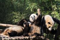 3頭のパンダ
