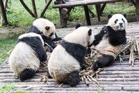 笹を食べる4頭のパンダ 10241002581| 写真素材・ストックフォト・画像・イラスト素材|アマナイメージズ