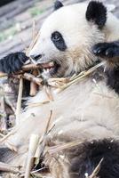 笹を食べる1頭のパンダ 10241002583| 写真素材・ストックフォト・画像・イラスト素材|アマナイメージズ