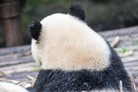 笹を食べる1頭のパンダの後ろ姿 10241002584| 写真素材・ストックフォト・画像・イラスト素材|アマナイメージズ