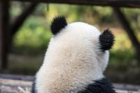 パンダの後ろ姿 10241002586| 写真素材・ストックフォト・画像・イラスト素材|アマナイメージズ