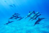 ハワイ島のスピナードルフィンの群れ 10241002643| 写真素材・ストックフォト・画像・イラスト素材|アマナイメージズ