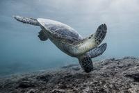 ハワイ島の食事中の亀 10241002644| 写真素材・ストックフォト・画像・イラスト素材|アマナイメージズ