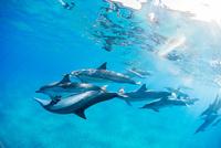 ハワイ島のスピナードルフィンの群れ