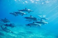 ハワイ島のスピナードルフィンの群れ 10241002681| 写真素材・ストックフォト・画像・イラスト素材|アマナイメージズ