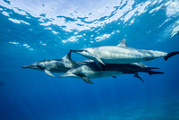 ハワイ島のスピナードルフィンの群れ 10241002682| 写真素材・ストックフォト・画像・イラスト素材|アマナイメージズ